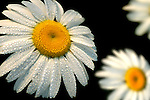 Oxeye Daisy, with water droplets, Minnesota, USA.USA....