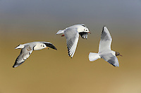 Black-headed Gull - Larus ridibundus<br /> left = 1st winter, middle = adult winter, right = adult summer<br /> L 35-38cm. Our most numerous medium-sized gull. Plumage variable but white leading edge to outerwings is consistent feature. Forms single-species flocks. Sexes are similar. Adult in summer has grey back and upperwings, white underparts and chocolate-brown hood. Legs and bill are red. In flight, trailing edge of outerwing is black. In winter, loses dark hood; white head has dark smudges above behind eye. Juvenile has orange-brown flush to upperparts, dark feathers on back, dark smudges on head, and dark tip to tail. Acquires adult plumage by 2nd winter through successive moults. 1st winter bird retains many juvenile plumage details but loses rufous elements and gains grey back. 1st summer bird still has juvenile-type wing pattern but gains dark hood. Voice Raucous calls include a nasal kaurrr. Status Widespread and numerous. Commonest on coasts and inland freshwater sites, but also in towns and on farmland; often follows the plough. Nests colonially beside water. Migrants from Europe boost winter numbers.