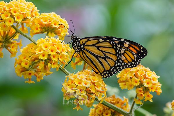 Western Monarch Butterfly (Danaus plexippus).  OR.  Summer.