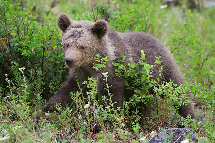 Grizzly bear cub walking through some underbrush - CA