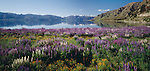 White & purple lupins in foreground of Lake Hawea. Otago Region. New Zealand.