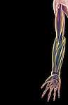 An anterior view of stylized muscles of the right upper limb. Royalty Free