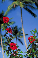 4 red flower hibiscus blooms and palm trees with blue sky. Dorado Puerto Rico.