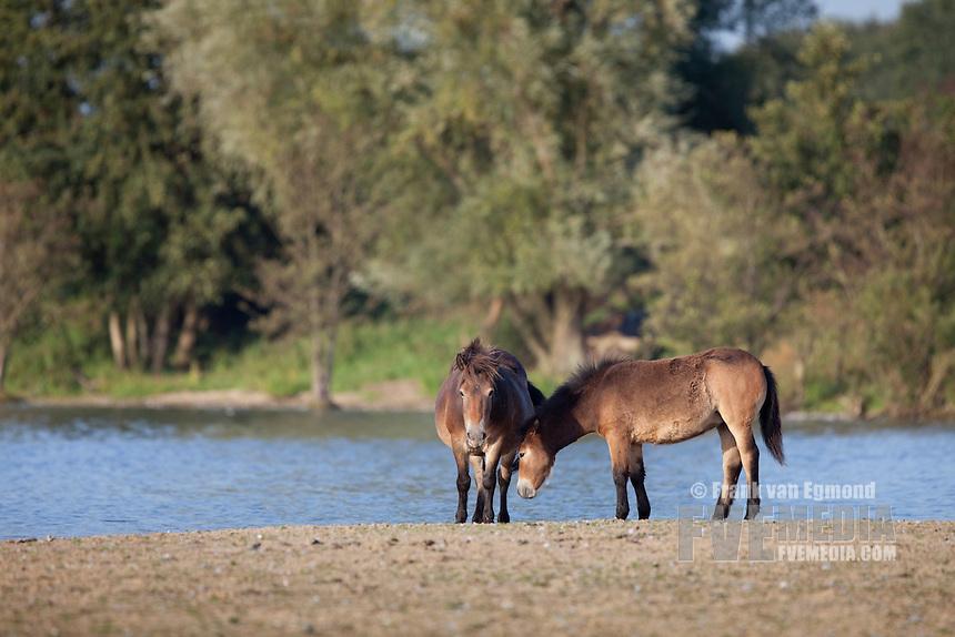 Exmoore Pony's at the Kraaijenbergse plassen