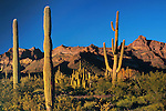 Saguaro cactus and Organ Pipe cactus (center) at sunset, Ajo Mountains behind, Organ Pipe Cactus National Monument, southern Arizona, USA. .  John offers private photo tours in Arizona and and Colorado. Year-round.
