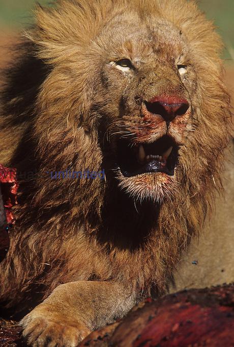 Male African Lion ,Panthera leo, prey, Masai Mara, Kenya, Africa.