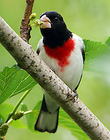 Male rose-breasted grosbeak eating mulberries
