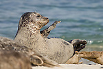 Children's Pool, La Jolla, California; Harbor Seals (Phoca vitulina) laying in the sand amongst other seals in the rookery