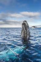 Humpback whale spy hops in the waters around the Antarctic peninsula.