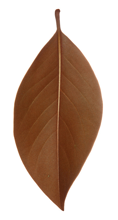 Southern Evergreen Magnolia or Bull Bay Magnolia grandiflora (Magnoliaceae) HEIGHT to 30m <br /> A large, spreading evergreen tree with a broadly conical crown. BARK Smooth, dull grey. BRANCHES Large, the youngest shoots covered with thick down and terminate in red-tipped buds. LEAVES Elliptical, to 16cm long and 9cm wide with a smooth or sometimes wavy margin. Upper surface is shiny, dark green, and underside is rust-coloured and downy, as is the 2.5cm-long petiole. REPRODUCTIVE PARTS Flowers are striking, composed of 6 white petal-like segments, borne at tips of shoots; conical in bud, later opening out to a spreading cup-shape, to 25cm across. Fruit is conical, to 6cm long, composed of scale-like carpels on a single orange stalk. Flowers from midsummer to late autumn. STATUS AND DISTRIBUTION Native of SE USA, introduced into Europe in 18th century.