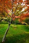 Colorful Japanese maple tree, Acer palmatum, in a beautiful mossy autumn nature scenery in a garden on Tofuku-ji temple grounds. Kyoto, Japan 2017.