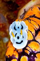 Diana's chromodoris nudibranch (chromodoris dianae) on a golden sea squirt (polycarpa aurata) , Lekuan tiga, Bunaken, Celebes sea, Pacific Ocean, Sulawesi, Indonesia, Asia