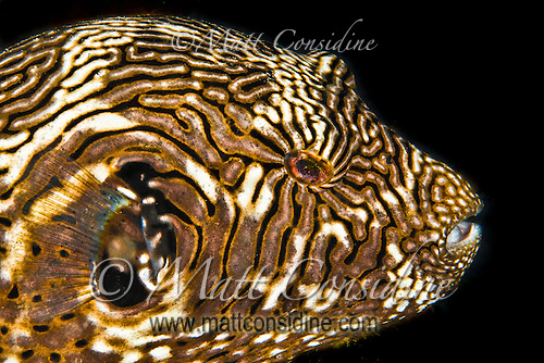 Puffer fish with an amazing stripe pattern. The puffer fish is poisonous but is sometimes prepared as soup or sashimi (fugu) by specially trained chefs in Japan and Korea, Palau Micronesia. (Photo by Matt Considine - Images of Asia Collection) (Matt Considine)