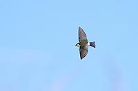 Violet-green Swallow (Tachycineta thalassina thalassina), male in flight at the Desert National Wildlife Refuge outside Las Vegas, Nevada.
