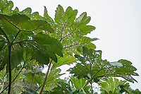 Leaves of poor man's umbrella (parasol de los pobres), Gunnera sp. Yanacocha Reserve, Ecuador