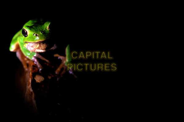 EUROPEAN TREE FROG.Italy.fauna amphibian animal animal nature wildlife Hyla arborea green.CAP/CAV.©Luca Cavallari/Capital Pictures.