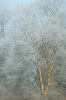 Frosted Birch tree in fog, Samish Flats, Washington