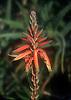 Aloe bloom<br /> <br /> flor de Aloe<br /> <br /> Baumartige Aloe Blüte (Aloe arborescens)<br /> <br /> Original: 35 mm slide transparency
