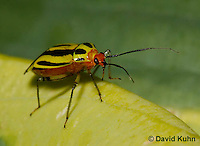 """0625-0802  Four-lined Plant Bug """"Herb, Flower, and Crop Pest"""" - Poecilocapsus lineatus - © David Kuhn/Dwight Kuhn Photography"""