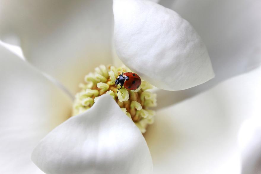 Ladybug on a white magnolia flower.