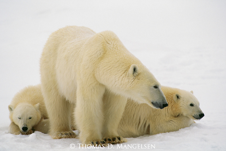 A mother polar bear stands near her resting cubs.