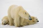 A mother polar bear stands near her resting cubs.