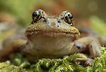 Red-legged frog, Olympic National Park, Washington