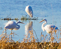 Three Great Egrets (Ardea alba) are seen in a lake in the Ridgefield National Wildlife Refuge. Two of the Egrets are facing off with one ready to attack the other. The third is sleeping with a reflection in the lake and grass in the foreground.