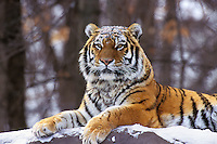 Siberian Tiger (Panthera tigris altaica), Endangered Species.