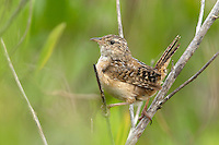 Sedge Wren - Cistothorus platensis - Adult