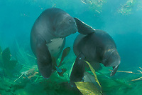 Amazonian manatees, Trichechus inunguis ( c ), showing the white ventral markings unique to this species of manatee, ( dm ) INPA/LMA, Amazonas, Brazil