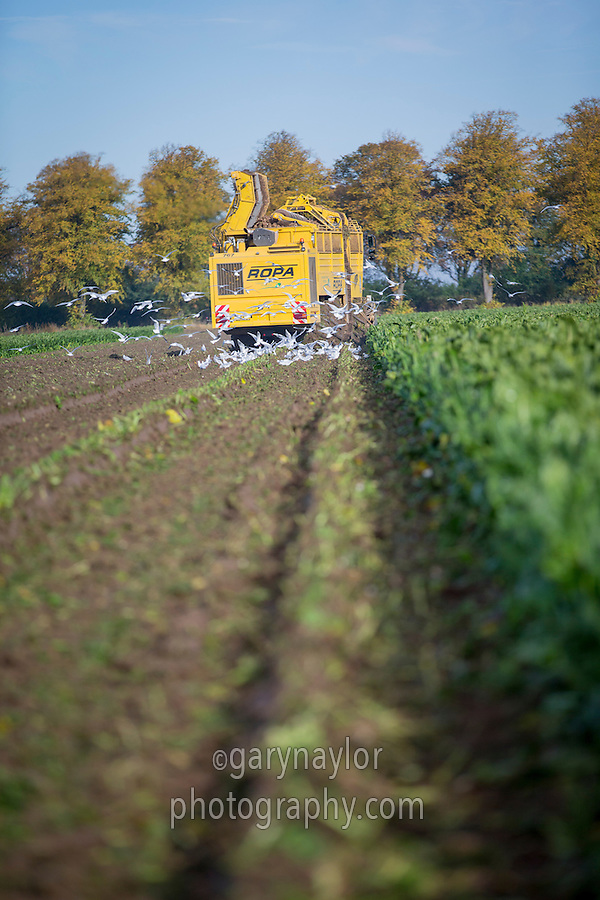 Lifting sugar beet with Roper Tiger - October