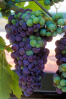 Vitus 'Syrah' wine grapes growing, fruits hanging on vine