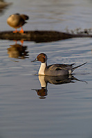 571350015 a wild drake northern pintail anas acuta in a shallow pond at colusa national wildlife refuge califonia
