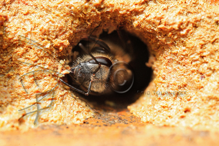 Propolis is malleable and very sticky when warm. It becomes very hard and easily breaks when cold. Bees produce it with sap they collect on buds.
