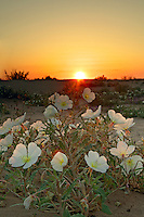 Dune Evening Primrose (Oenothera deltoides), Imperial Sand Dunes Recreation Area, Southern California