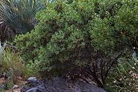 Xylococcus bicolor, Mission manzanita, evergreen california native shrub; Tree of Life Nursery