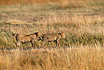 Lion cubs, Masai Mara National Reserve, Kenya