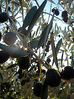 Olives on the tree - before all that nasty curing takes place, Tuscany