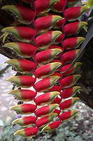 SAN GIL - COLOMBIA: Heliconia L.  es un género que agrupa más de 100 especies  de plantas tropicales, originarias de Suramérica, Centoamérica, las islas del Pacífico e Indonesia. Se les llama platanillo por sus hojas o ave del paraíso y muela de langosta por las coloridas brácteas que envulven sus flores. Heliconia L. is a genus that includes more than 100 species of tropical plants, originating in South America, Central America, Pacific Islands and Indonesia. Platanillo They are called by their leaves or bird of paradise and grind down the colorful lobster envulven bracts flowers. (Photo: VIzzorImage / Luis Ramirez / Staff).