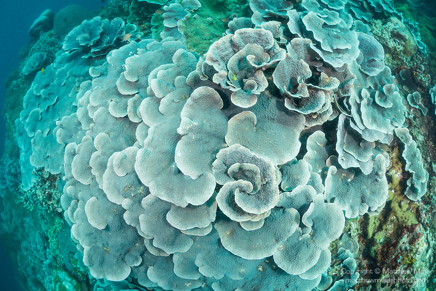 Apo Island, Dauin, Negros Oriental, Philippines; large colonies of lettuce or cabbage corals on the reef