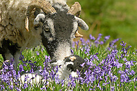 Swaledale ewe and twin Swaledale lambs in Bluebells, New Hey Farm, Dunsop Bridge, Lancashire.