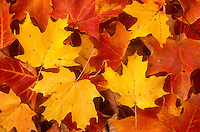 AJ5705, close-up, maple leaves, autumn, A cluster of colorful (red, yellow, orange) maple leaves on the ground in the state of Vermont.