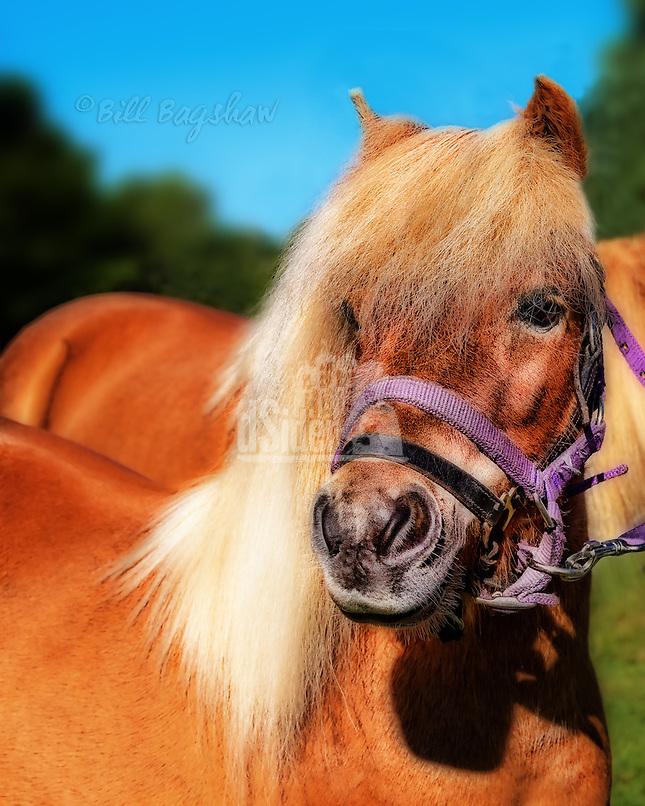 Shetland pony Banchory show dsider.co.uk online magazine, photo courses