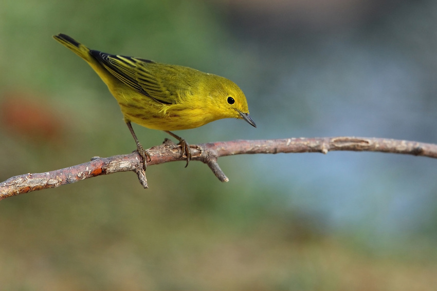Yellow warblers spend the majority of the year throughout much of North America, including Alaska, northern Canada, and the northern 2/3 of the United States. A highly migratory bird, it winters in southern California, southern Florida, and south through the Brazilian Amazon, Bolivia, and Peru.