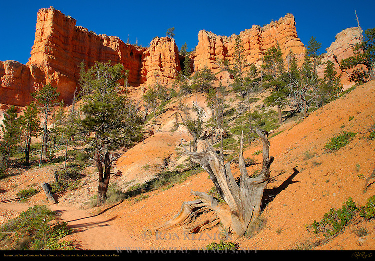 Bristlecone Pine on Fairyland Canyon Trail, Bryce Canyon National Park, Utah