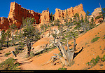 Bristlecone Pine on Fairyland Canyon Trail, Bryce Canyon National Park, Utah