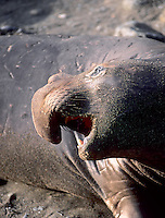 Elephant Seal, California