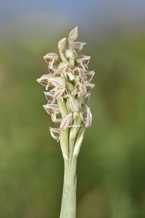 Dense-flowered Orchid - Neotinea maculata