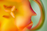close-up of a tulip flower-     commercial/editorial licensing for this image is available through: http://www.gettyimages.com/detail/200245410-001/The-Image-Bank